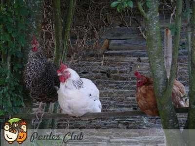 Ces 3 poules sont au même rang