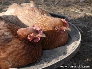 Deux poules sans problème de hiérarchie