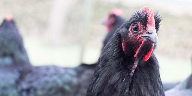 Comment attirer ses poules