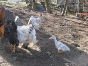 Coicoin qui suit ses copines poules