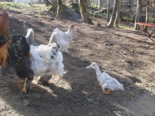 Les poules brahmas de sylvie avec coincoin le canard - Se coucher avec les poules ...