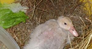 Coincoin, le petit canard qui vit avec des poules