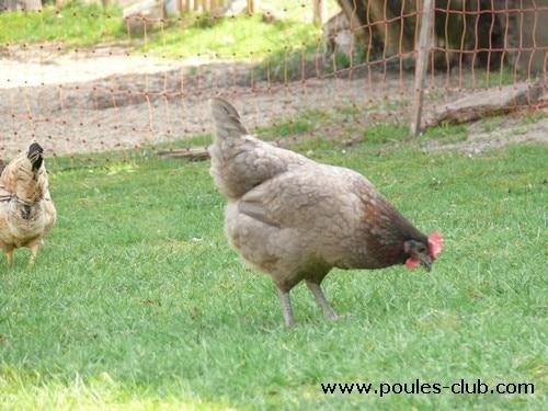 Tous les avantages d 39 un filet pour vos poules bien le for Qu est ce que mange une poule