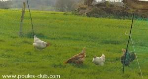 Filet poules