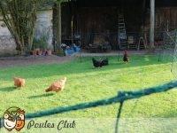 Un enclos de 20 mètres carrés minimum par poule