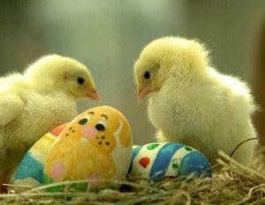 Adorables poussins de Pâques
