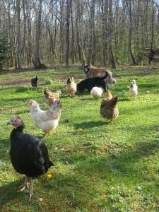 Les chiens veillent sur les poules