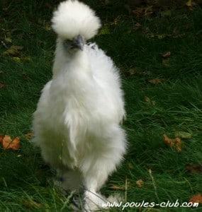 Chouquette, notre poule naine de race Soie