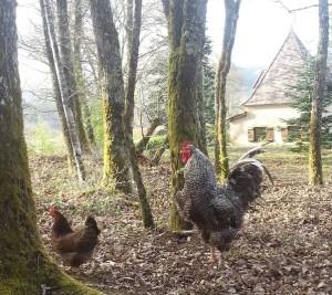 coq en liberté avec ses poules