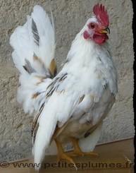 Coq Serama