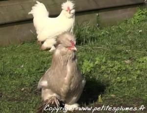 Jolie petite poule Burma
