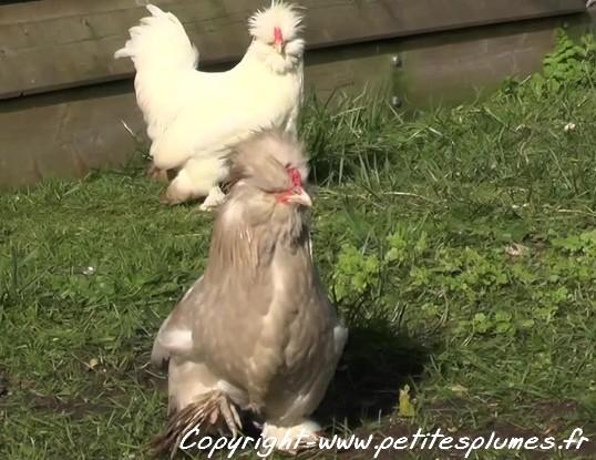 La poule burma ou naine de burma bantam de birmanie for Race de poule nain