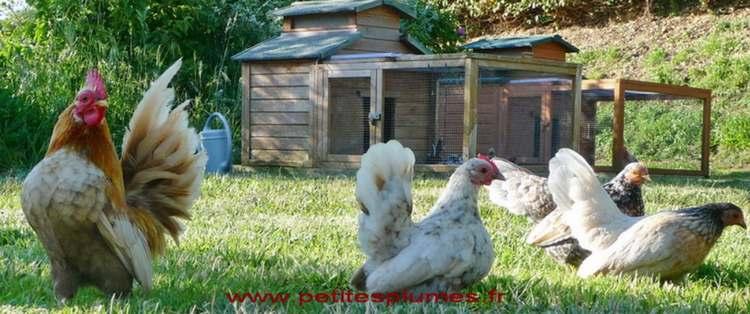 Photo de Xavier éleveur passionné de poules naines dans le Finistère