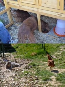 Les poules peuvent très bien s'netendre avec les chats et les chiens