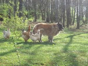 Chiens, chevaux, oies, côtoient les poules de Yan