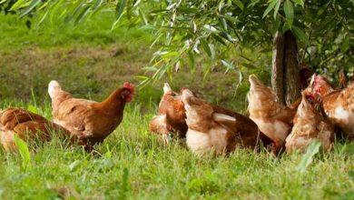 Photo de Des poules qui vivent sur 7 hectares en liberté