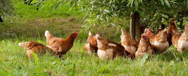 Ces poules vivent sur un espace immense : plus de 7 hectares