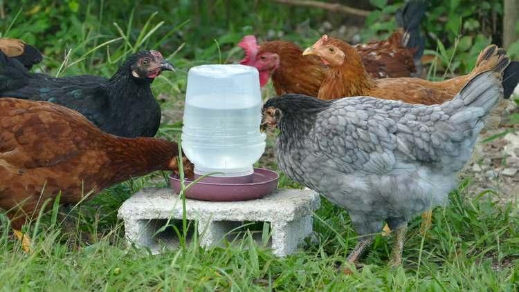Pourquoi l'eau est importante pour nos poules