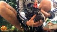 Comment faire vomir une poule en vidéo