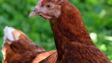 Tot savoir sur la poule rousse