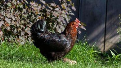 Toutes les caractéristiques de la poule Harco