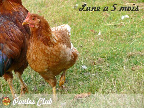 La poule rousse ou la poule fermi re caract ristiques for Duree de vie des poules pondeuses
