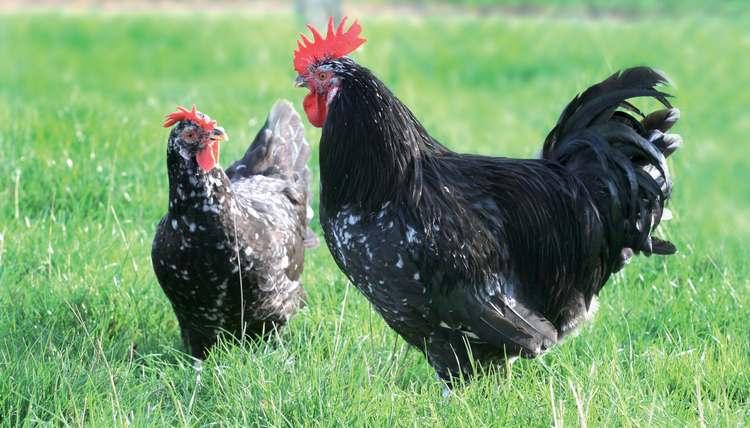 Tout savoir sur la poule Gournay
