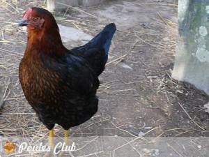 Praline jolie poule Harco