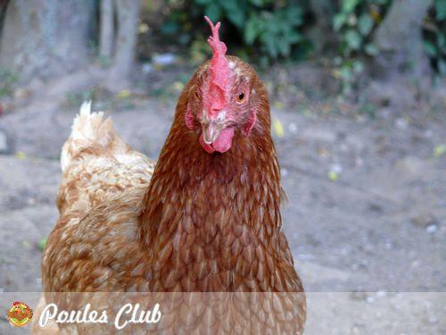 La poule rousse ou la poule fermi re caract ristiques for Top 10 des poules pondeuses