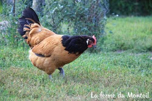 La poule vorwerk caract ristiques et origine - Image de la poule ...