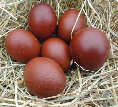 La poule marans o l 39 acheter caract ristiques for Oeuf de poule mou
