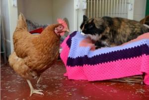 poule-rousse-ami-des-chats
