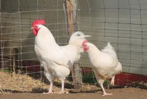 Coq et poule gatinaise