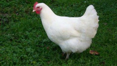 Tout savoir sur la poule Gâtinaise