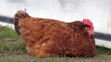 Quoi faire si une poule tombe malade