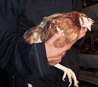 Les premiers gestes effectuer si votre poule est malade for Race de coq qui ne chante pas