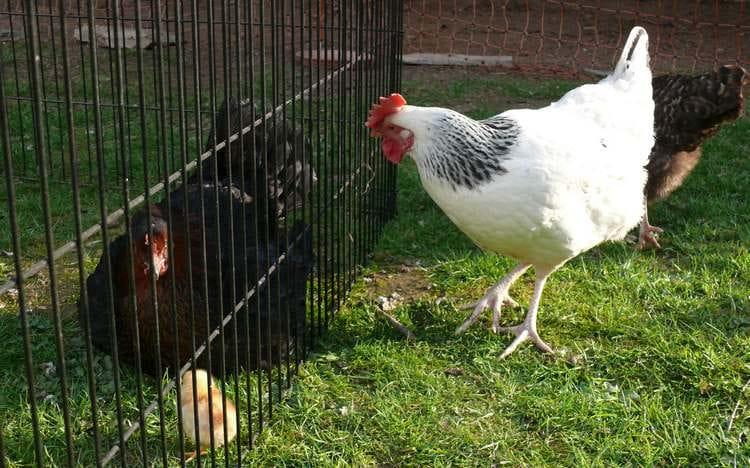 Mue ou cage sans fond pour les poules