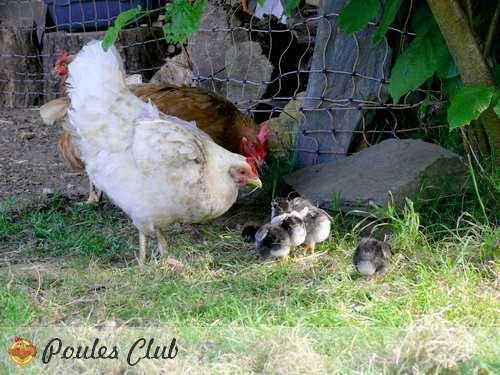 Une mue ou cage sans fond pour poules et poussins - Poule et ses poussins ...