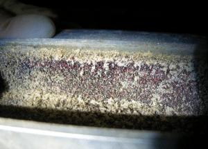 nid-de-poux-rouges