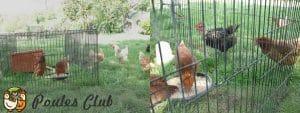 Nouvelles poules à leur arrivée installées dans la mue