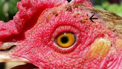 Comment traiter les poux broyeurs mallophages des poules