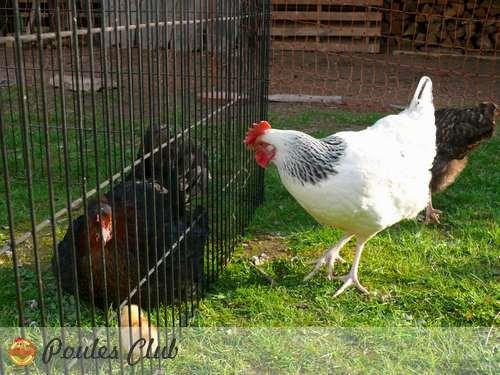 Une mue ou cage sans fond pour poules et poussins - Se coucher avec les poules ...