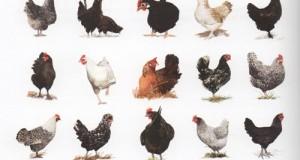 Différentes poules