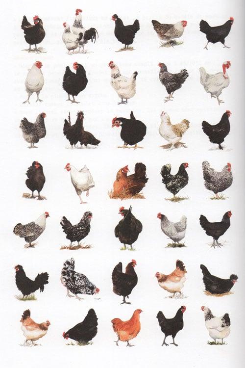 Races de poules for Races de poules naines
