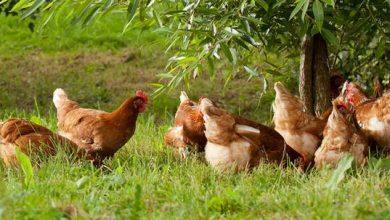 Quel nom pour mes poules ?