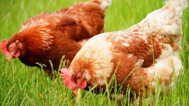 Pourquoi l'herbe est importante pour nos poules ?