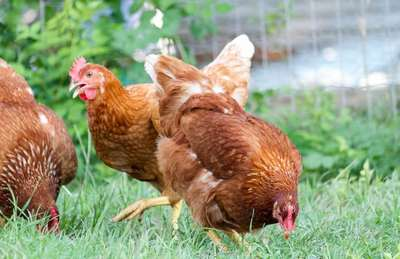 Quelle poule pondeuse choisir pour avoir de bons ufs for Duree de ponte d une poule pondeuse