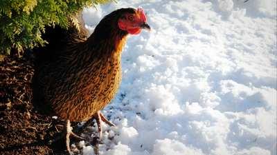 poule-en-hiver