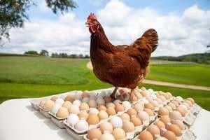 Quelle poule pondeuse choisir pour avoir de bons ufs - Image d une poule ...