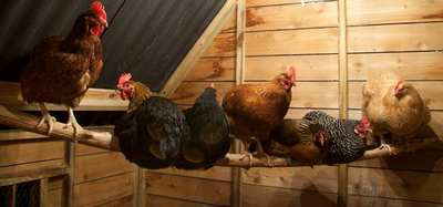 faut il prot ger les poules du froid en hiver. Black Bedroom Furniture Sets. Home Design Ideas